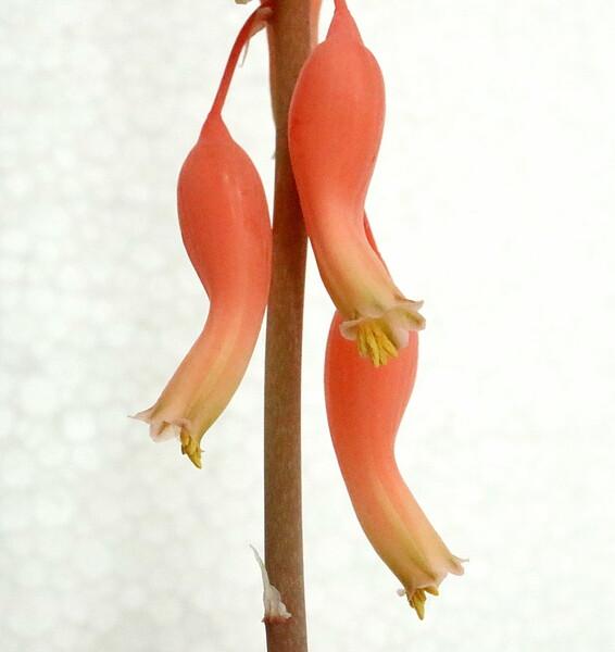 ガギュウの花