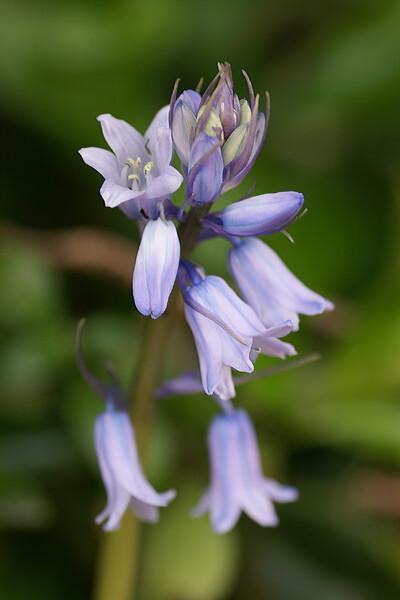 釣鐘水仙 紫