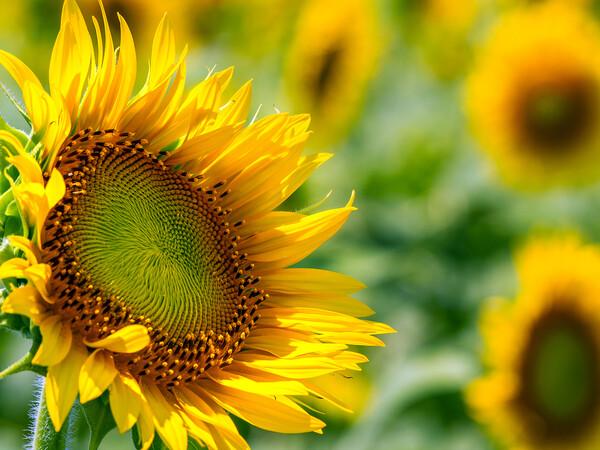 【盛夏】向日葵