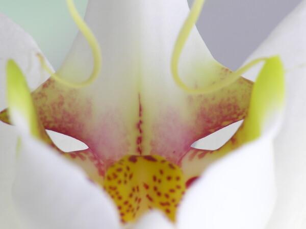 『花』仮面Ⅱ