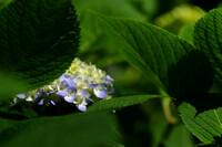紫陽花の予感