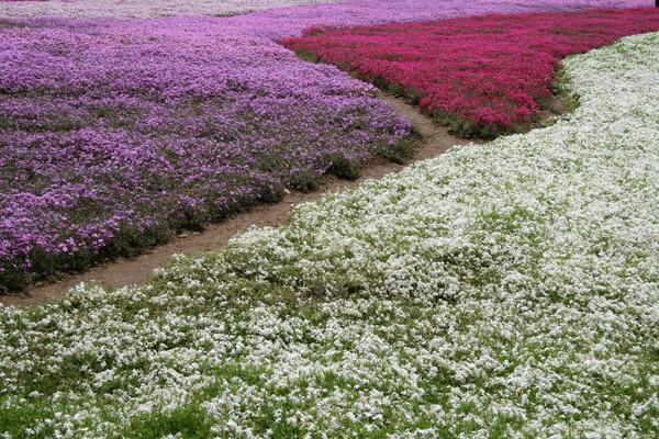 【植】芝桜の絨毯