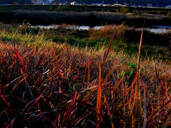 堤防の雑草