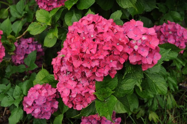 赤いあじさいの花