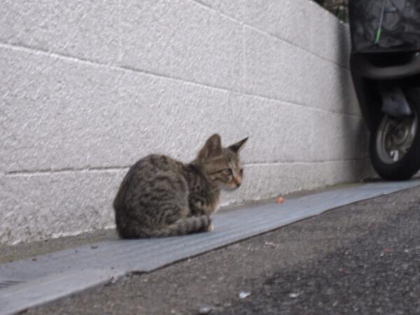 【猫】下町の子猫 2(野良新米)