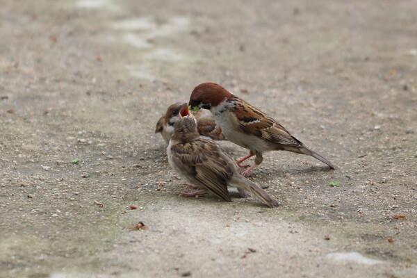 スズメの親子たち