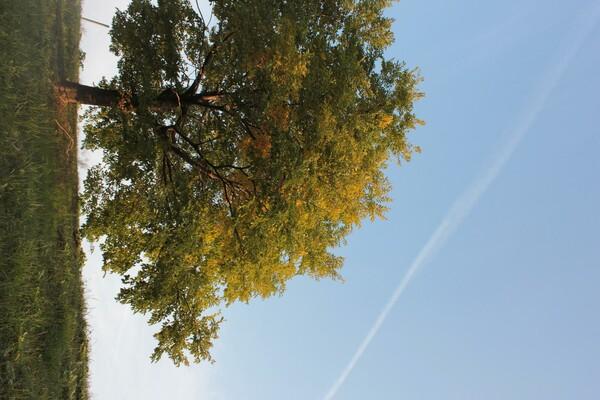 飛行機雲と一本黄木