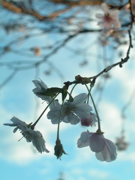 秋の桜によせて