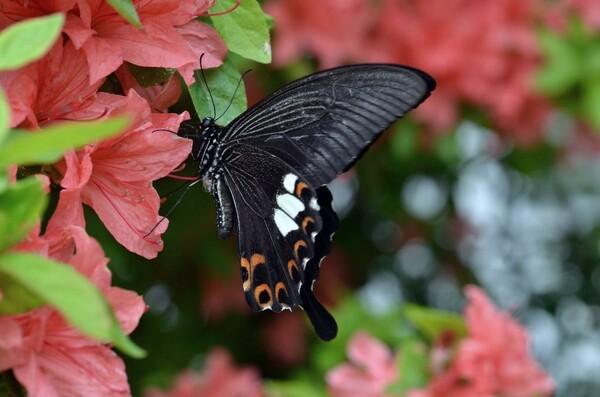 美人な黒いアゲハ