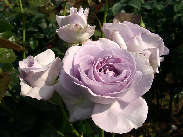★09春バラ・セレクション-53