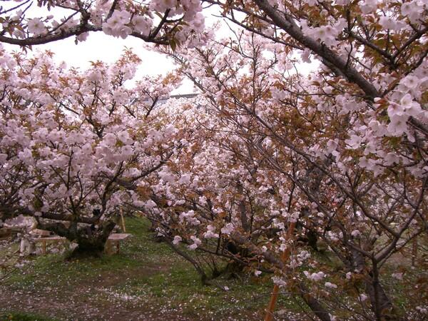 御室の桜(お多福桜)
