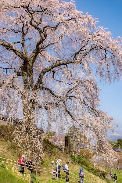 【花のある風景】石塚桜
