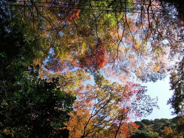【紅】葉 天を覆う