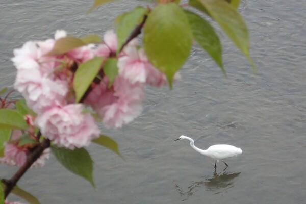 鴨川の花鳥