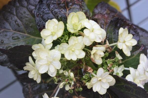 雨の冬紫陽花