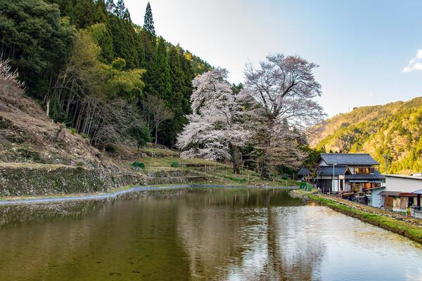 【花のある風景】苗代桜