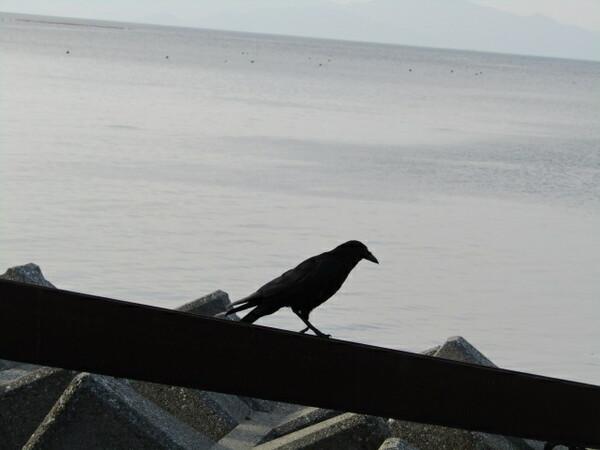 カラスが鳴門海峡に飛来しました