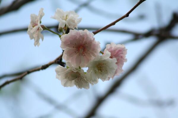 秋なのに桜が〜