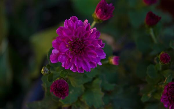 小鉢の小菊