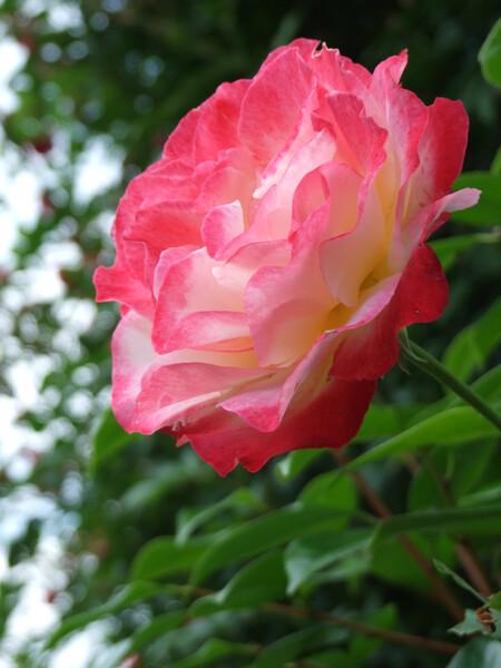 これどいつのバラだ〜?