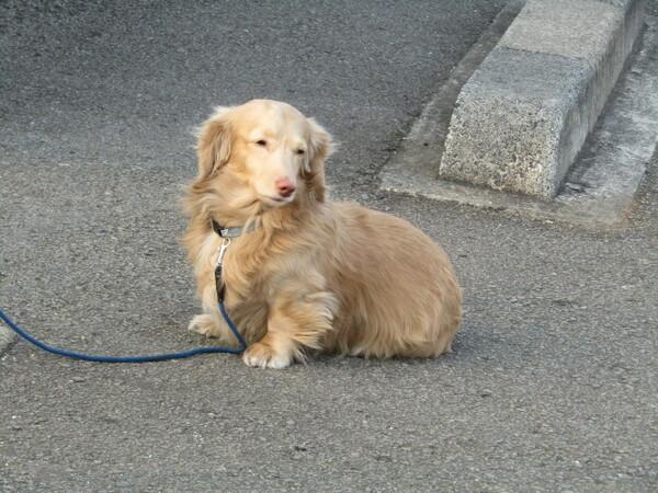 毛並みが素晴らしい 愛犬です