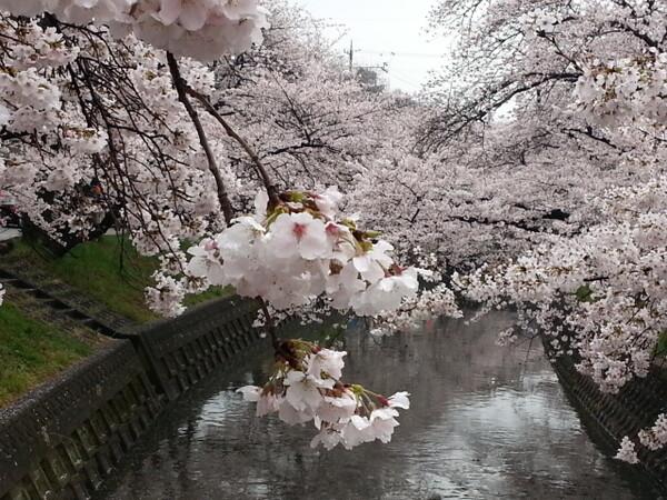 【香】桜満開2