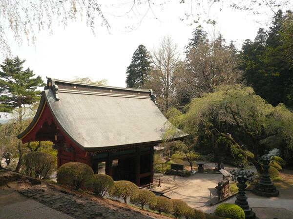妙義神社の山門の桜