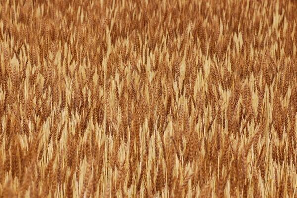 麦のモザイク