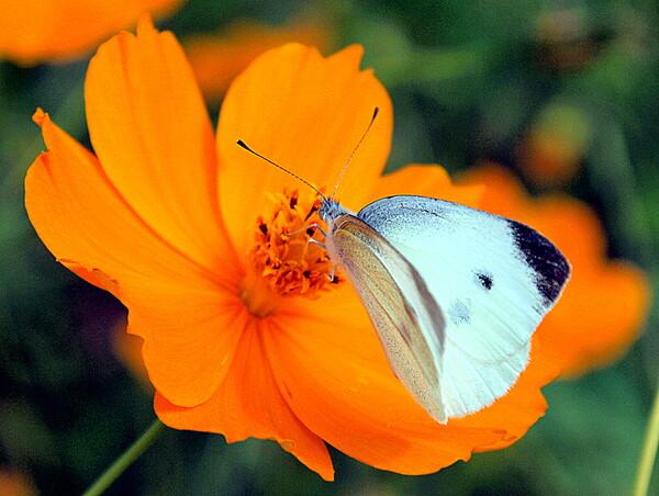 古いカメラで蝶を撮りました。 2