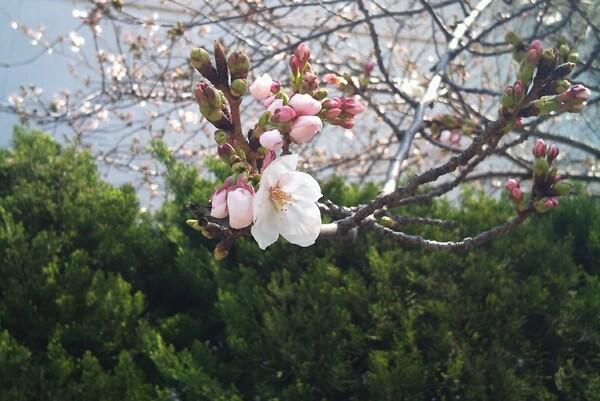 ようやく桜咲きますた