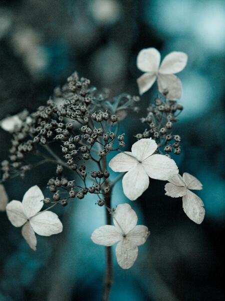 【わびさび】季節はずれの紫陽花