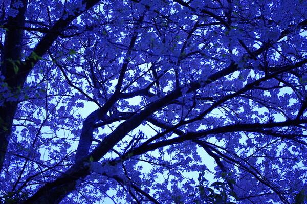 倉吉 雨の桜