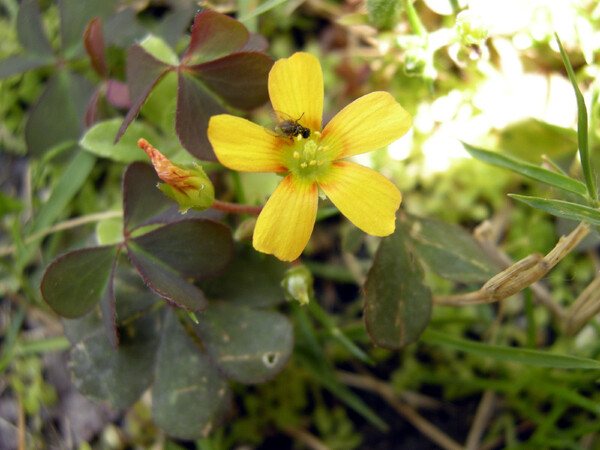 【植】黄色の花