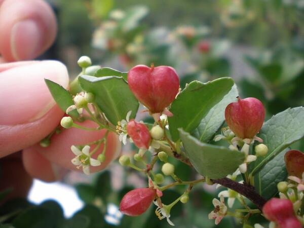 ハートツリー~花言葉は小さな幸せ~