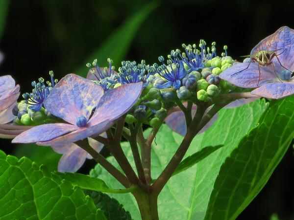 両性花(紫陽花の)
