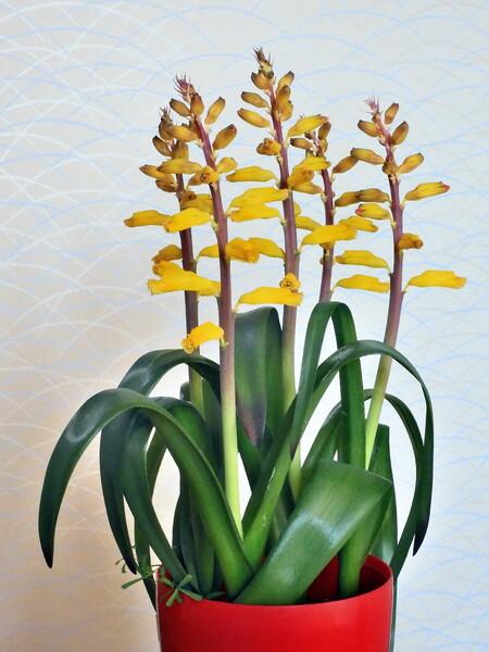 ラケナリア黄花