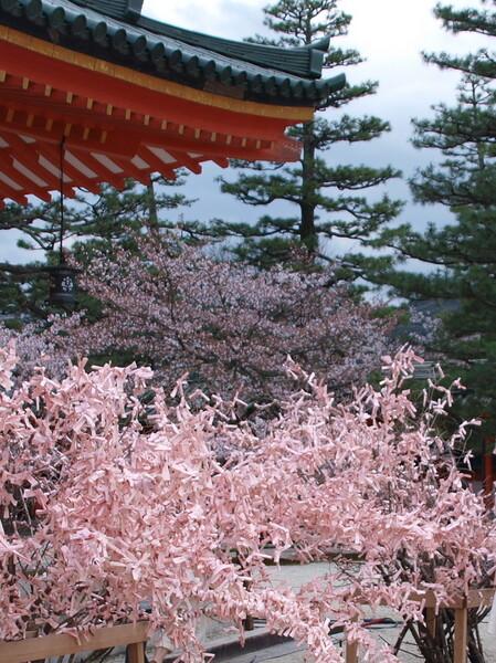 【桜】と桜おみくじ