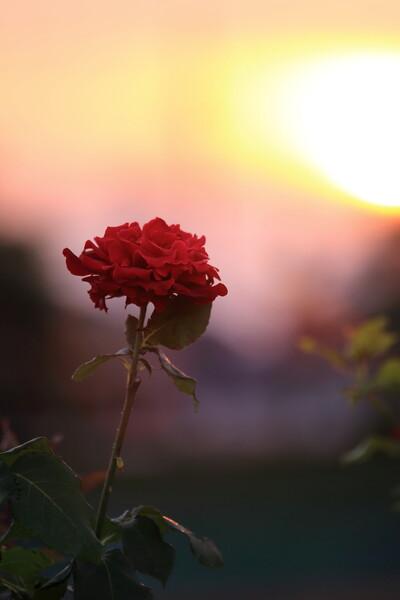 落日と真紅のバラ