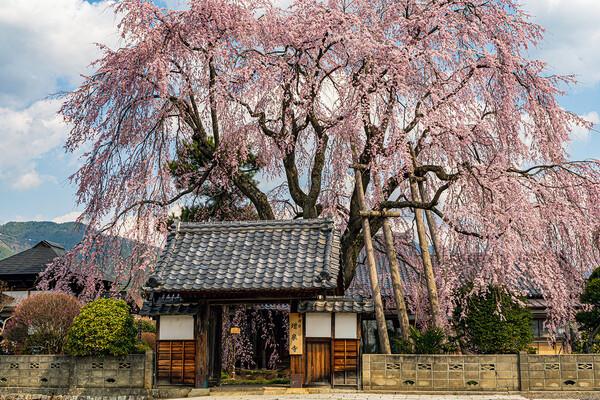 【はな】増泉寺のしだれ桜