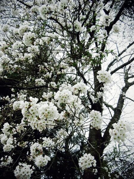 まだこんな感じの桜