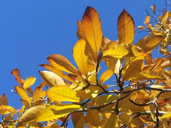 青い空と黄色い葉