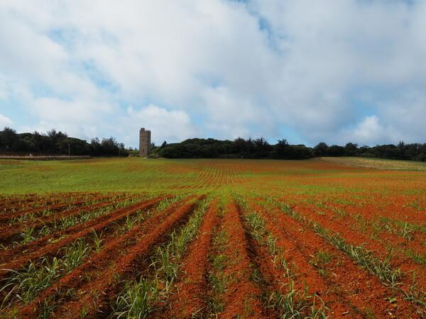 植えたてのサトウキビ畑