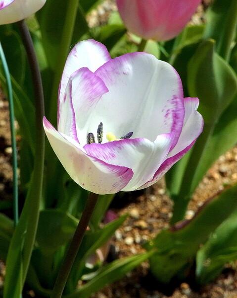 花片に模様のチューリップ