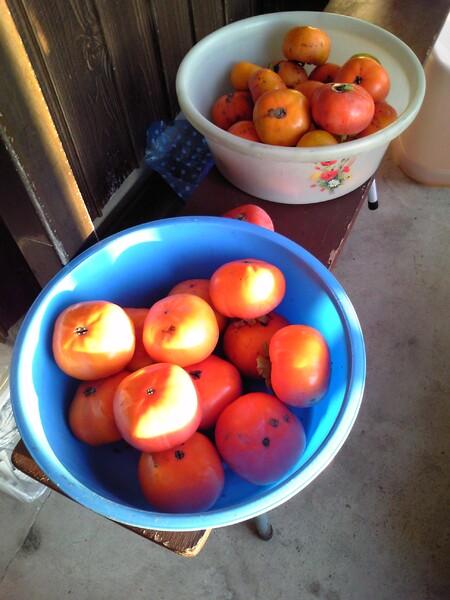 柿とれました