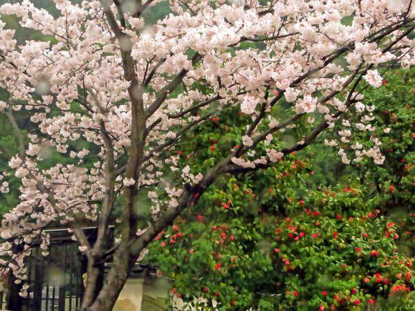 私も桜椿を