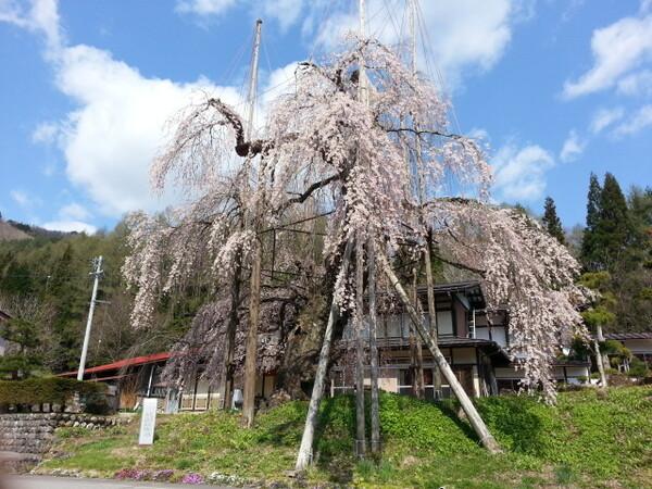 【5月】西光寺のしだれ桜