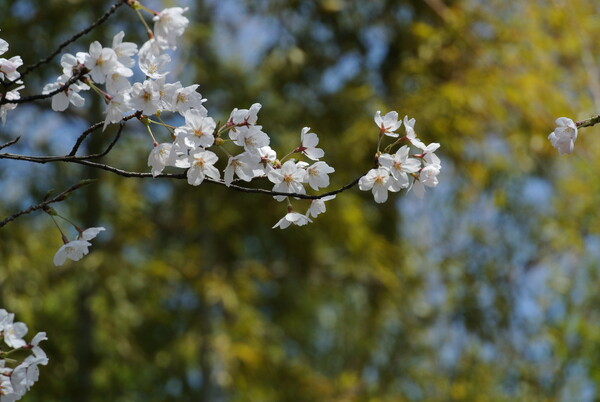 (淡彩)桜