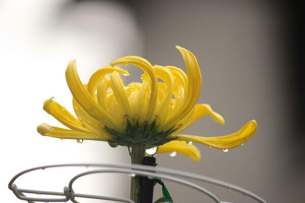 大輪菊の放置組