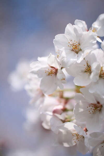 X50 桜