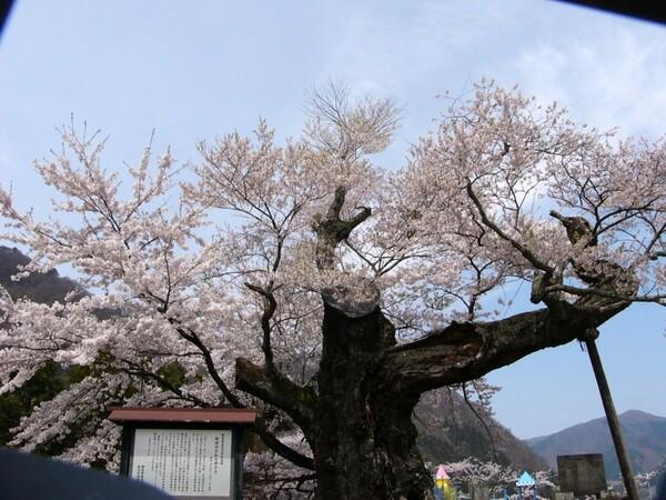 さかさ桜 別アングル